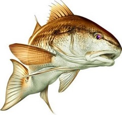 Red-drum-ill
