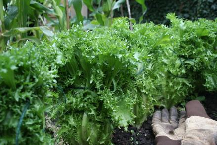time to enjoy an elegant member of the lettuce family — endive ...