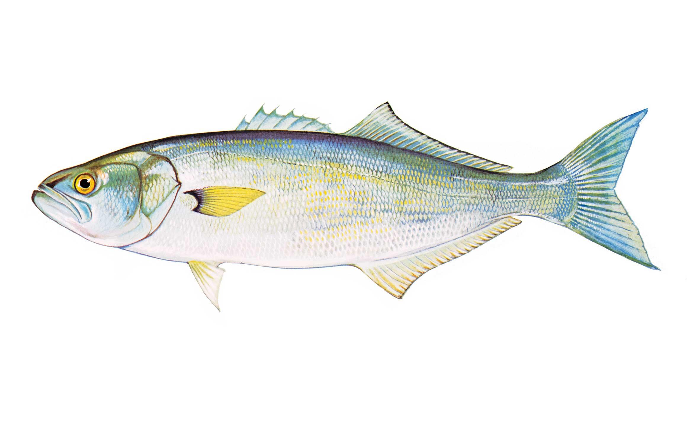 Freshwater fish nc - Bluefish